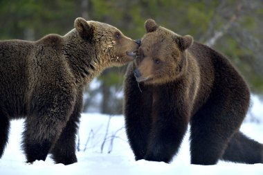 Couple of bears sniffing each other. Brown Bear Being Friendly. Scientific name: Ursus Arctos. Winter forest. Natural Habitat.