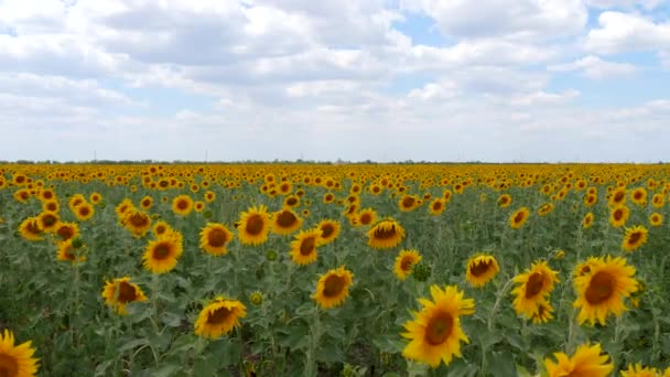 The Landscape of the Sunflowers
