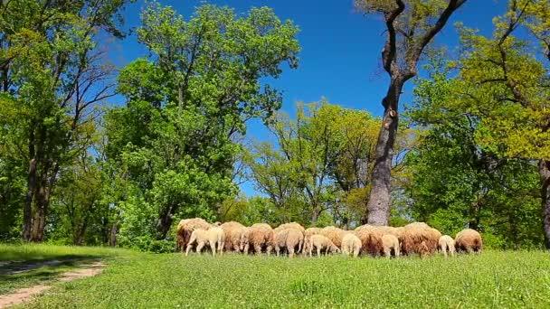 stádo ovcí oděrek na zelené louce