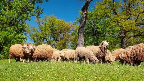 die Schafherde weidet auf einer grünen Wiese