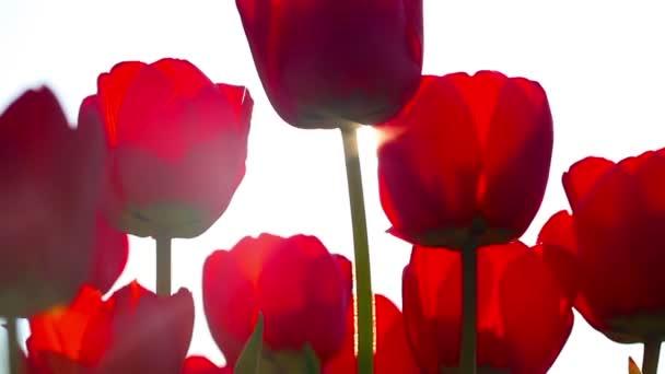 piros tulipán a háttér zöld fű