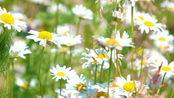 flowers blooming daisies. 4K.