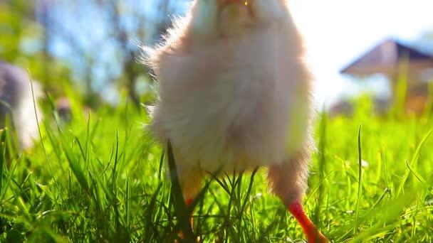 kleine Hühner im grünen Gras in einem Korb