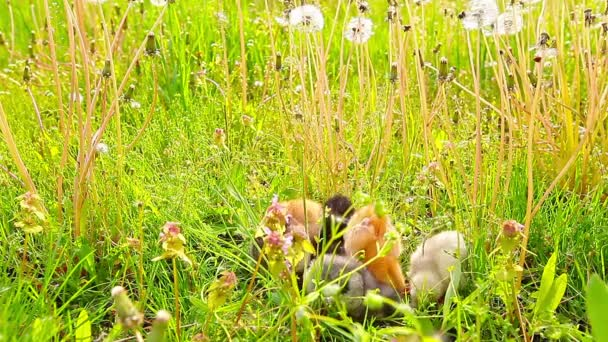 small chickens in a green grass