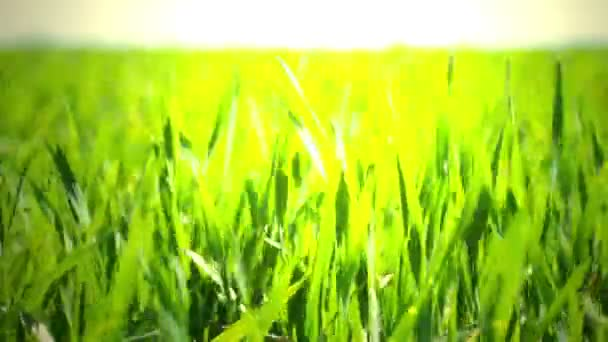 Field of green grass. macro.