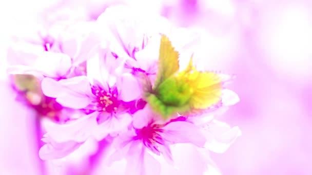 gyümölcsfák virágzó tavaszi virágai