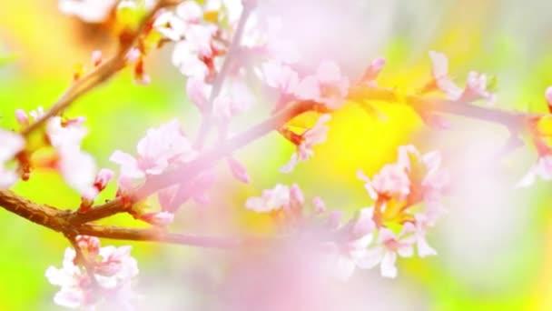 blooming spring flowers of fruit trees