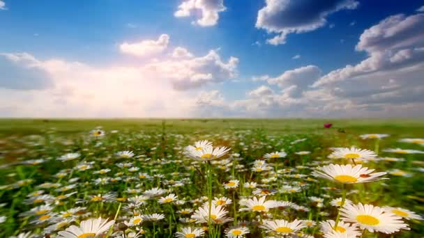 letní krajina. údolí s heřmánkovými květy.