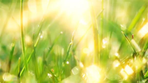zelená tráva a kapky rosy zamrzlé. timelapse.