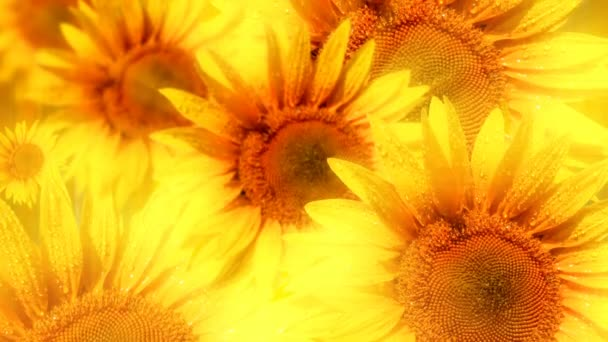 background of blooming sunflowers with raindrops