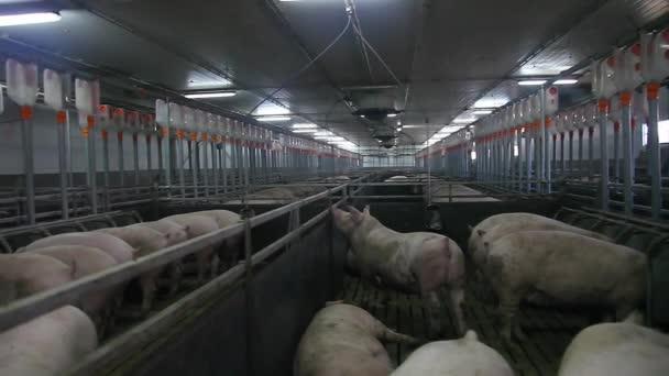pig farm compartment 4 level