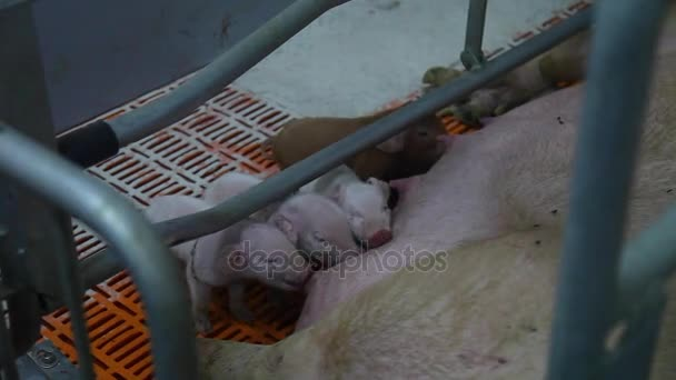 pigs and sow in pigsty