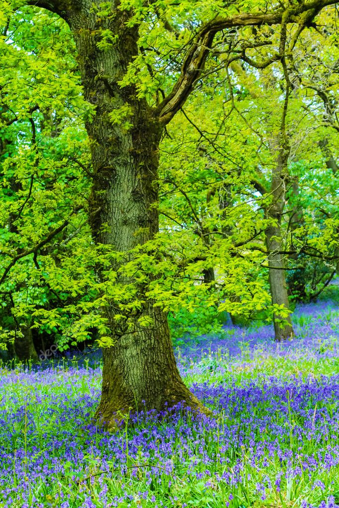 Beautiful oak tree in the forest with bluebells meadow stock vector