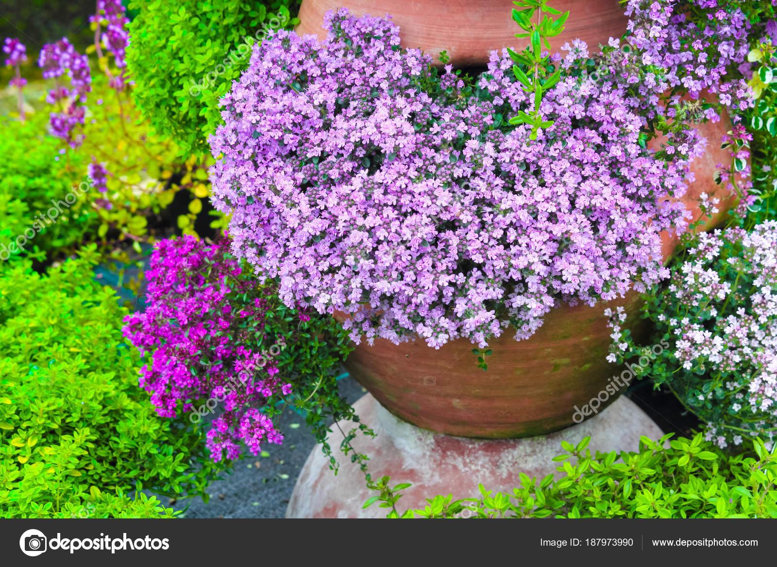 Variété Fleurs Thym Fleurs Dans Jardin Pot Fleurs ...