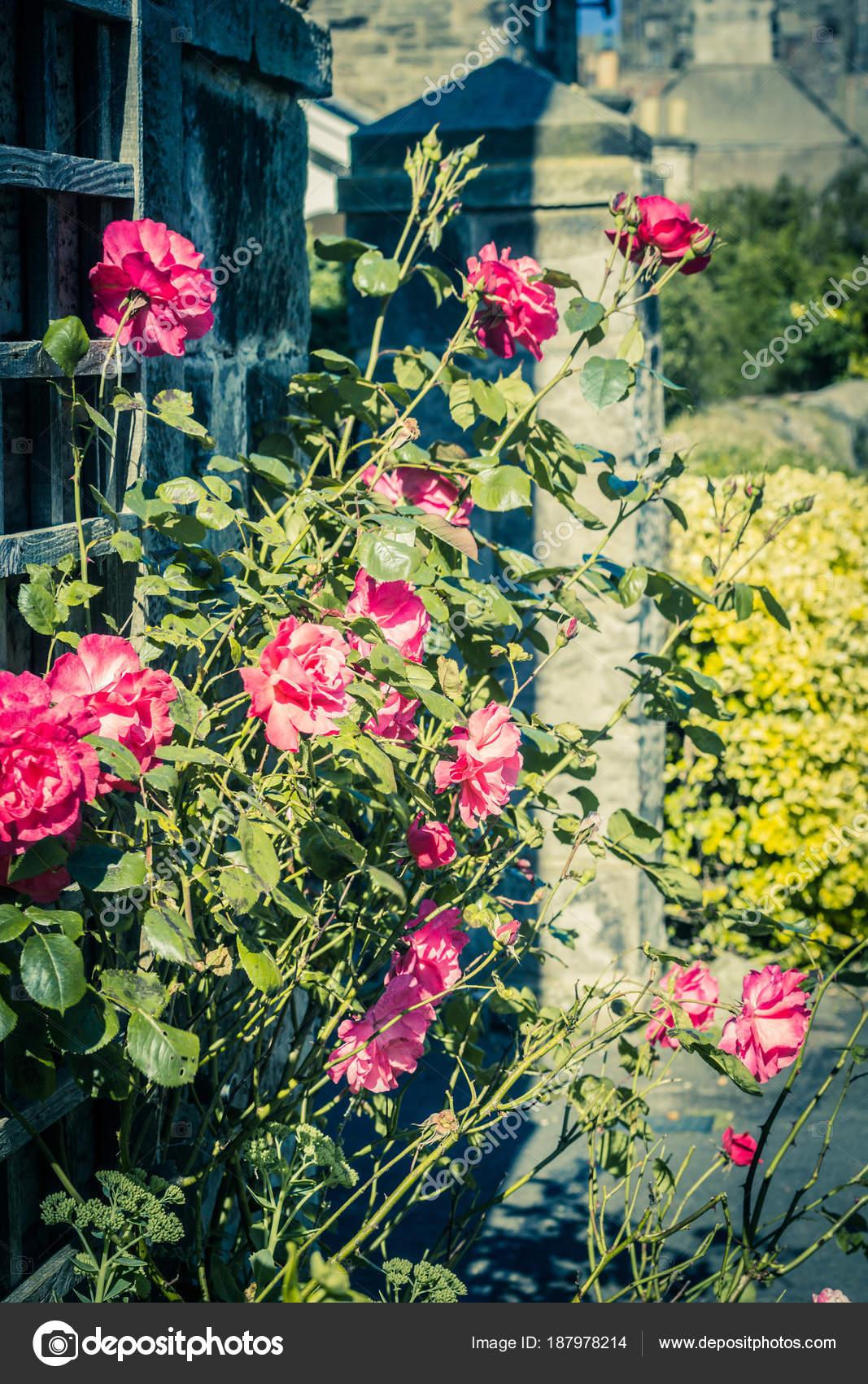 Schöne Rote Rosen Die Außerhalb Des Hauses Verzieren U2014 Stockfoto