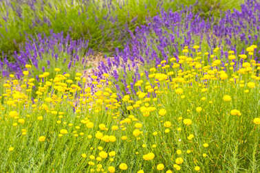 Lavender flowers mixed with yellow flower blossom