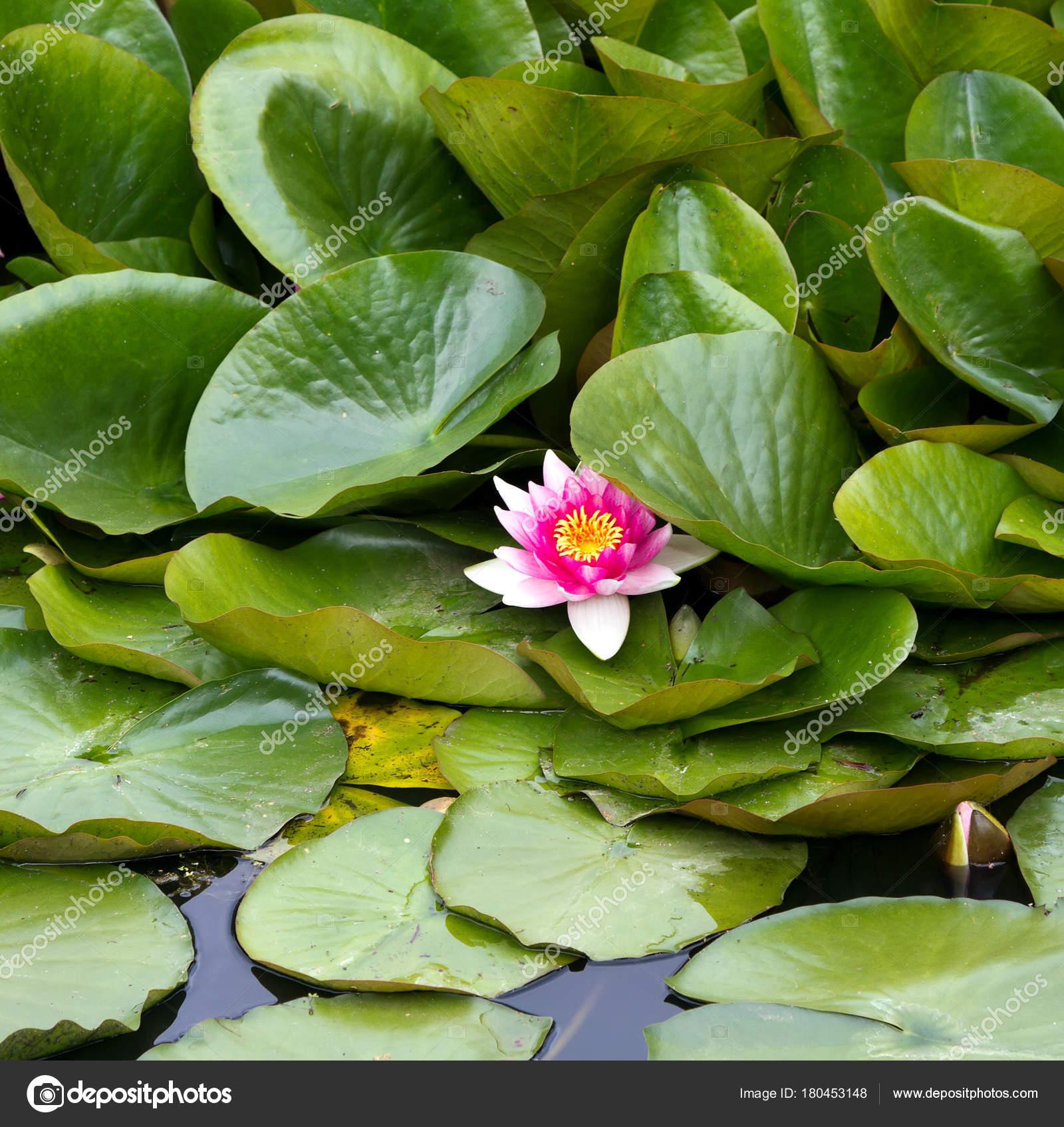 Lotus Flower Stock Photo Smelnikovs 180453148