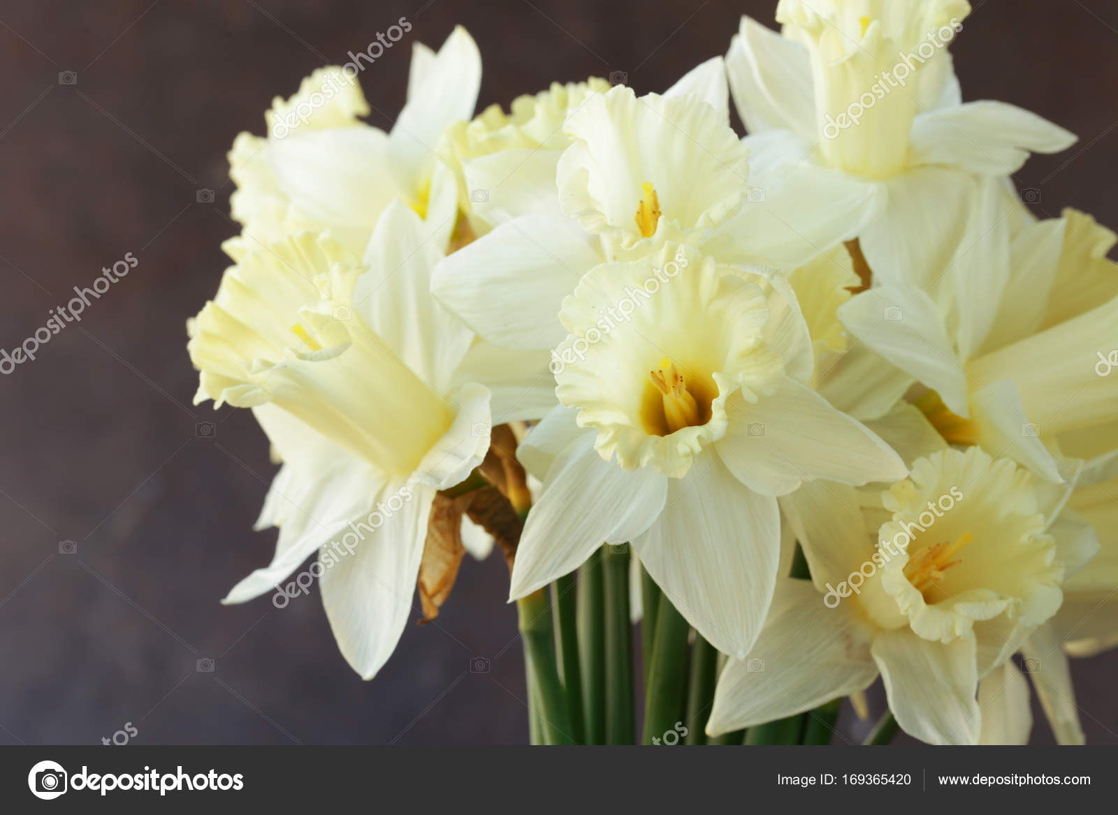Fresh yellow daffodil flowers symbol of spring stock photo fresh yellow daffodil flowers symbol of spring stock photo mightylinksfo