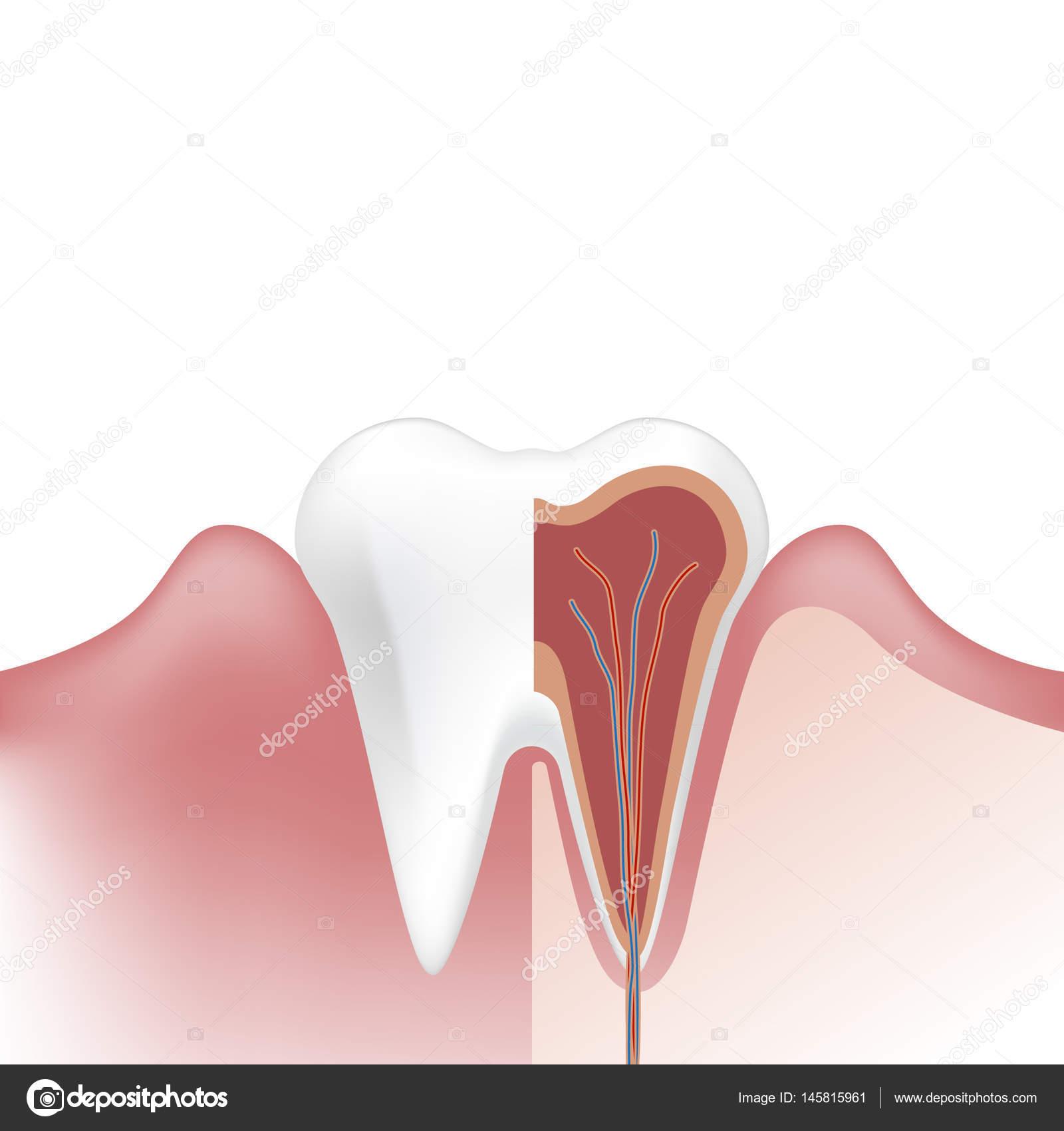 diente odontología. Infografía de dental de diente humano. diseño ...