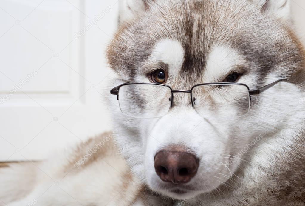 メガネをかけるシベリアンハスキー