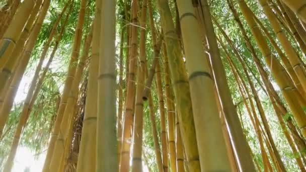 thickets of green bamboo against