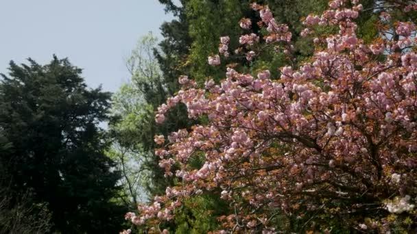 krásné, kvetoucí růžové Třešňové květy v japonské zahradě