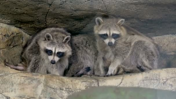 family of raccoons sitting on the tree