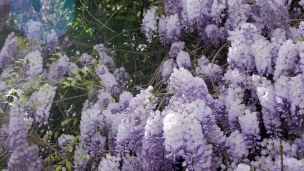 blooming violet Wisteria tree in spring