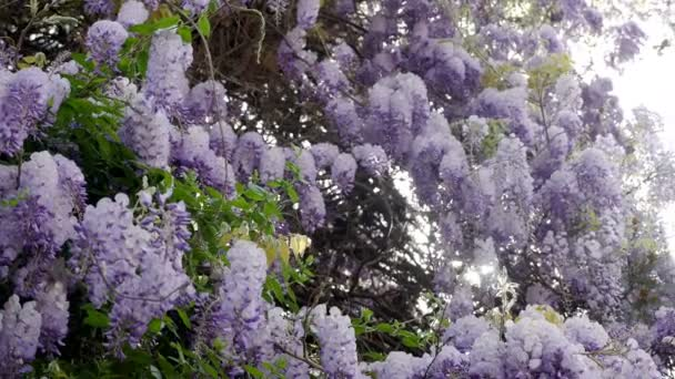 na jaře Kvetoucí fialové vistárie strom
