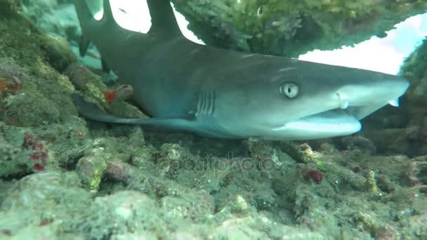 Fekete tipp zátony cápák, víz alatti úszás