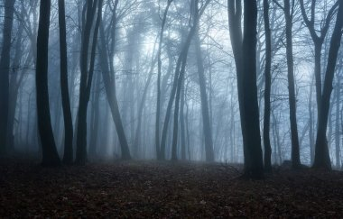 Moody forest on the foggy morning