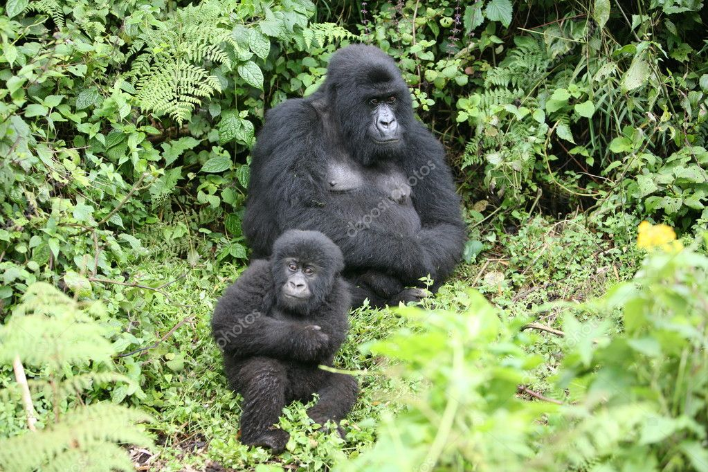 Divoké zvíře gorila tropický prales Rwanda Afrika — Stock Fotografie ...