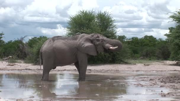 Elefante selvaggio (Elephantidae) nella savana africana Botswana