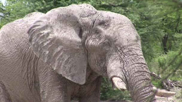 Vadon élő elefánt (Elefántfélék) afrikai botswanai szavannában