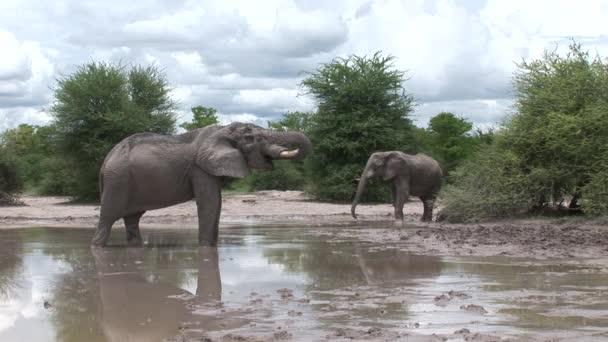 Divoký slon (Slonovití) v africké Botswaně savannah