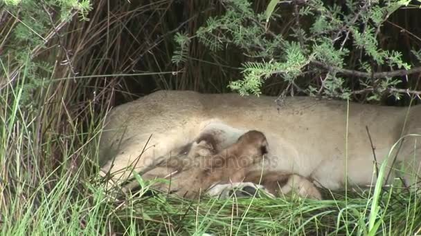 Le madri di mangiare piccolo leone selvagge latte mammifero africa savana Kenya