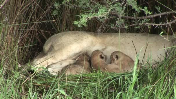 Vadon élő kis oroszlán étkezési anyák milk emlős afrikai szavanna Kenya