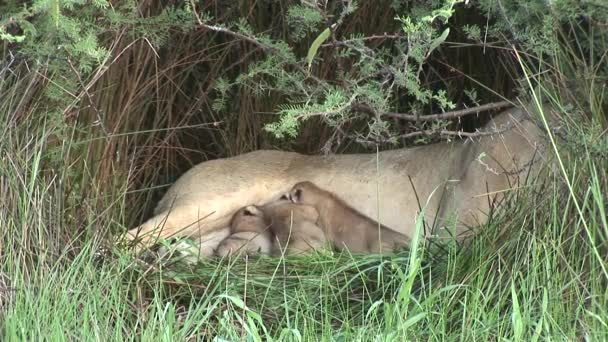 Wild Little Lion eating mothers milk mammal africa savannah Kenya