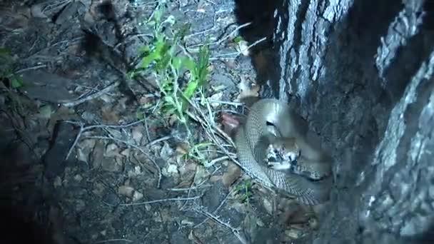 Vadon élő kígyó fa afrikai szavanna Kenya