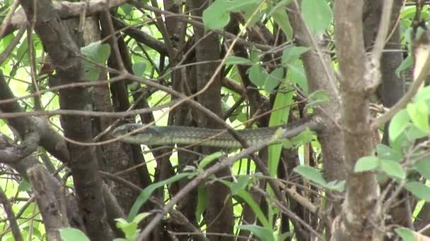 Wild snake tree Africa savannah Kenya