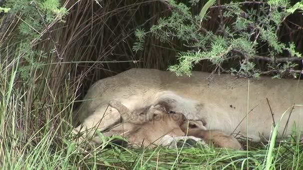 Wild Little Lion eating mothers milk mammal africa savannah Kenya