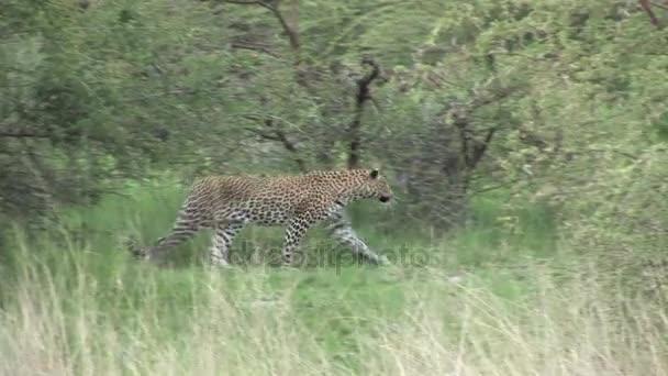 Leopard Botswana Africa savannah wild animal mammal