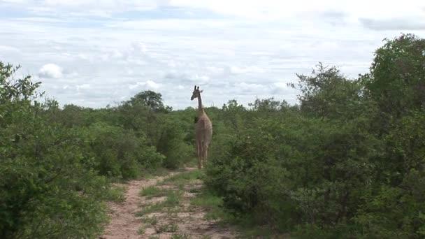 Wild žirafa savec Afrika savannah Kenya (Giraffa souhvězdí žirafy)
