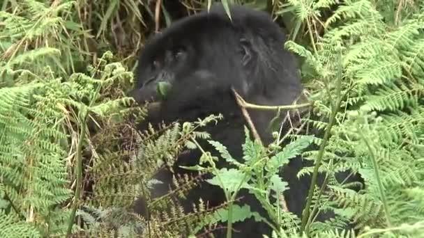 Gorilla vadállat Ruanda Afrika trópusi erdő