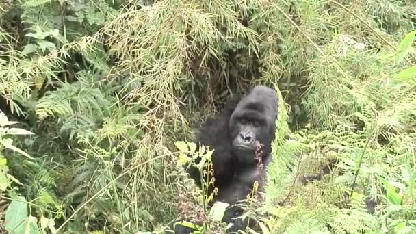 Divoké zvíře gorila tropický prales Rwanda Afrika