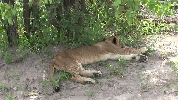 savana di leone mammifero pericoloso selvaggio africa Kenya