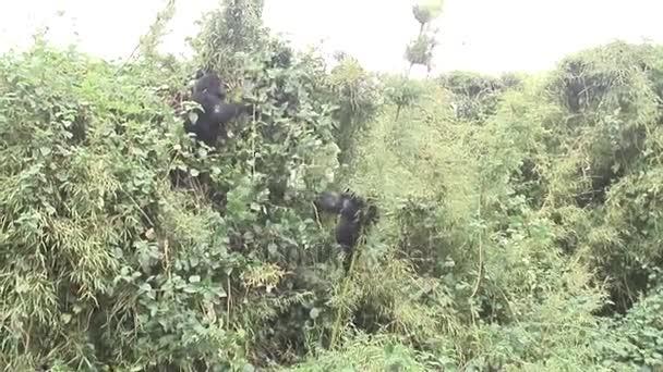 Gorilla-Wildtier Ruanda Afrika Tropenwald