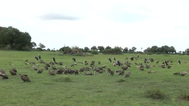 Wild Griffon Vulture Africa savannah Kenya dangerous bird