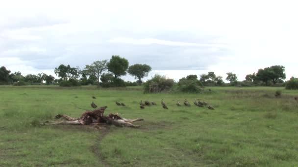 Wild Griffon Vulture and Lion eating Giraffe Africa savannah Kenya