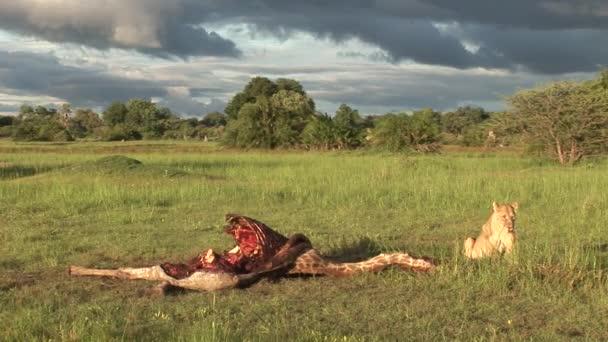 Divoký SUP a lev jíst žirafa Afrika savannah Keňa